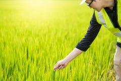 Aziatische mannelijke agronoom die op padieveld waarnemen Stock Foto's