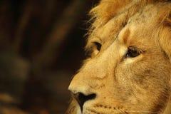 Aziatische mannelijke leeuw dichte omhooggaand Royalty-vrije Stock Foto's
