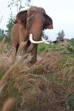 Aziatische Mannelijke Olifant Stock Afbeelding