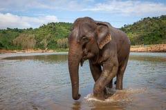 Aziatische maximus die van Olifantselephas in een vlootrivier dichtbij Luang Prabang loopt royalty-vrije stock foto's