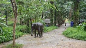 Aziatische Mens die en de Olifant in Mooi Tropisch Forest Elephant Tourist Trekking in Thailand wassen baden HD stock video