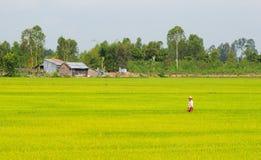 Aziatische mens die het padieveld in Dong Thap overgaan stock afbeelding