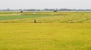 Aziatische mens die het padieveld in Dong Thap overgaan royalty-vrije stock afbeelding