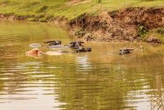 Aziatische moerasbuffels en Stock Afbeeldingen