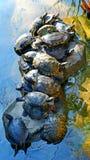 Aziatische moerasschildpadschildpadden Royalty-vrije Stock Afbeeldingen