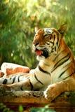 Aziatische mooie tijger Stock Fotografie