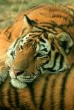 Aziatische mooie tijger Royalty-vrije Stock Foto's