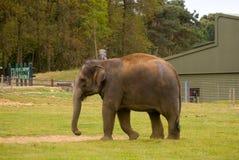 Aziatische olifant Stock Foto's