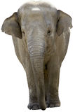 Aziatische olifant Stock Fotografie