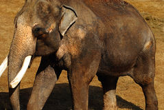 Aziatische olifant Royalty-vrije Stock Fotografie