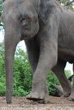 Aziatische olifant Royalty-vrije Stock Foto
