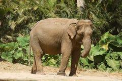 Aziatische olifant in de zon Royalty-vrije Stock Fotografie