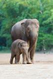 Aziatische olifant die familys 3 loopt Royalty-vrije Stock Foto's