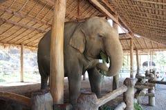 Aziatische olifant die gras eten Stock Afbeeldingen