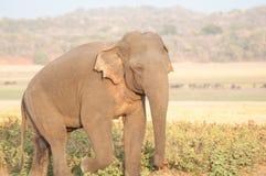 Aziatische olifant die op de weide dicht naar boven gaan Stock Afbeeldingen