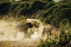 Aziatische olifant, Elephas-maximus, het nationale park van Corbett, Uttarakhand, India stock foto