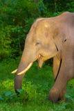 Aziatische Olifant, Elephas-maximus, Nagarhole Tiger Reserve, Karnataka stock afbeeldingen