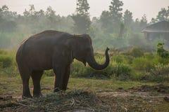 Aziatische olifant in het bos, surin, Thailand Royalty-vrije Stock Foto's