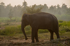 Aziatische olifant in het bos, surin, Thailand Stock Foto's