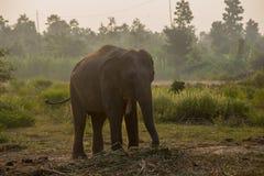 Aziatische olifant in het bos, surin, Thailand royalty-vrije stock foto