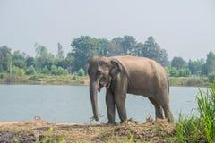 Aziatische olifant in het bos, surin, Thailand royalty-vrije stock fotografie