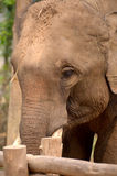 Aziatische olifant Laos Stock Afbeeldingen
