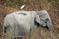 Aziatische Olifant in Nationaal Park Kaziranga Royalty-vrije Stock Foto
