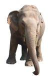 Aziatische olifant op witte achtergrond Royalty-vrije Stock Foto's