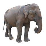 Aziatische olifant op witte achtergrond Stock Foto