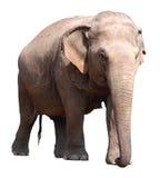 Aziatische olifant op witte achtergrond Royalty-vrije Stock Afbeelding