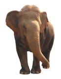 Aziatische olifant op witte achtergrond Stock Foto's