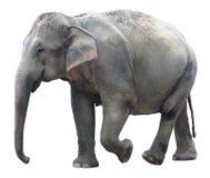 Aziatische olifant op witte achtergrond Royalty-vrije Stock Fotografie