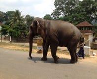Aziatische Olifant Sri Lanka in Kandy royalty-vrije stock afbeelding