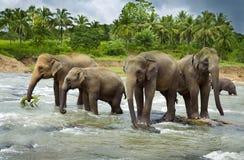 Aziatische Olifanten Stock Foto's