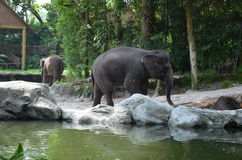 Aziatische Olifanten Royalty-vrije Stock Foto's