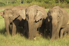 Aziatische Olifanten Royalty-vrije Stock Afbeelding