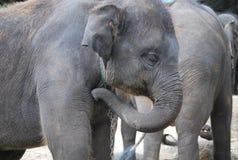Aziatische olifanten Royalty-vrije Stock Fotografie