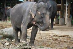 Aziatische olifanten Stock Afbeeldingen