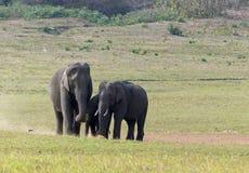 Aziatische olifanten Royalty-vrije Stock Afbeeldingen
