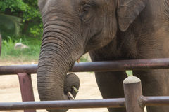 Aziatische olifanten Chang Thailand Elephant Conservation Center in T Stock Afbeeldingen