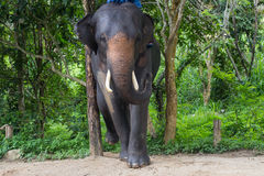 Aziatische olifanten Chang Thailand Elephant Conservation Center in T Stock Foto's
