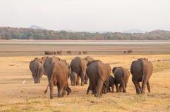 Aziatische olifanten en witte aigrettes die naar water op weg zijn Royalty-vrije Stock Afbeeldingen