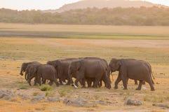 Aziatische olifanten en witte aigrettes tijdens zonsondergang Stock Foto