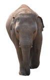Aziatische olifantsbaby op witte achtergrond Royalty-vrije Stock Foto's