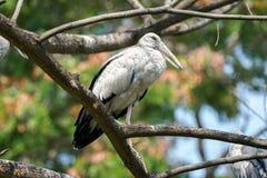 Aziatische Openbill die op een boomtak neerstrijken stock foto's