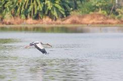 Aziatische Openbill ooievaars vliegende alleen dichtbijgelegen bovenkant van de vijver royalty-vrije stock foto