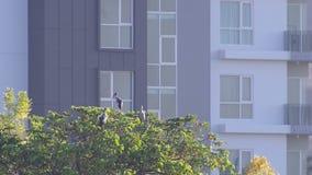 Aziatische openbills die op de boom voor het gebouw rusten stock video