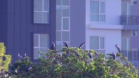 Aziatische openbills die op de boom voor het gebouw rusten stock videobeelden