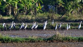 Aziatische openbills en witte kranen op het padiegebied stock footage