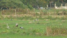 Aziatische openbillsvogels die op het padiegebied eten stock video